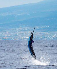 Grander Marlin Sportfishing  on the Big Island of Hawaii