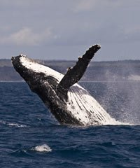 Listing of all Whale Watching Boat Tours in Hawaii.