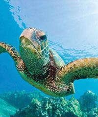 Turtle Morning Snorkel Kewalo