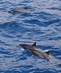 Lanai Dolphin Snorkel - Hawaii Ocean Project