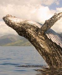Whale Watch Maalaea (Guaranteed Sightings)