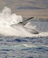 Malolo Charters PM Whale Watch