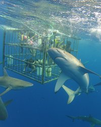 Shark Cage Tour - North Shore Shark Adventures