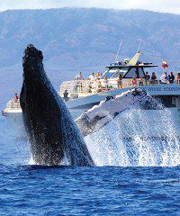 Whale Watch Discount - Lahaina - Pacific Whale Foundation on Maui