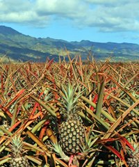 On Maui - Maui Gold Pineapple and Iao Valley Tour