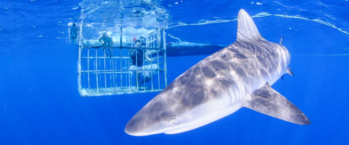What is the best time to go on an Oahu Shark Cage Diving Tour?