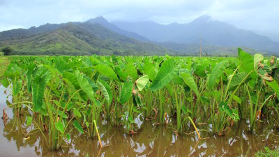 The Taro Plant   An Intrinsic part of Hawaiian Culture