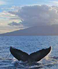 Whale Watch From Lahaina - Trilogy Excursions