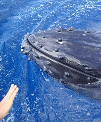 Whale Watch From Maalaea - Trilogy Excursions