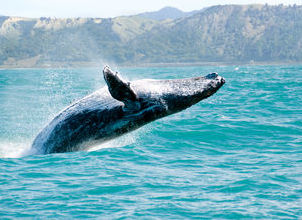 Hawaii's Whales Bring Excitement to the Winter Season