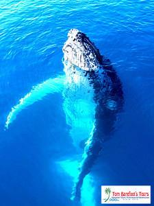 "Hawaiian Waters are a 'Whale Friendly"" Sanctuary for the Humpback Whales"