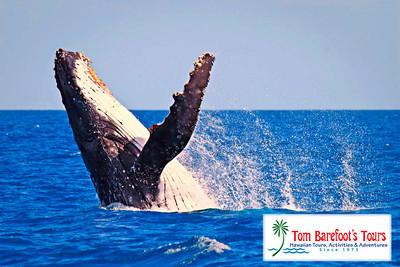 Hawaii Whale Watching Tours are the Big Winter Event!