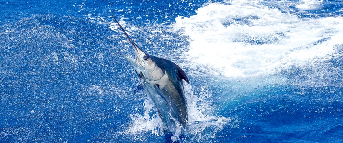 Kona Sport Fishing is famous for its Pacific Blue Marlin.