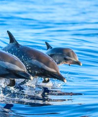 Dolphin excursions in Hawaii will bring you closer than you thought possible.