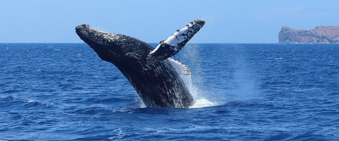 Whale watching on Maui is the major activity during the winter months.