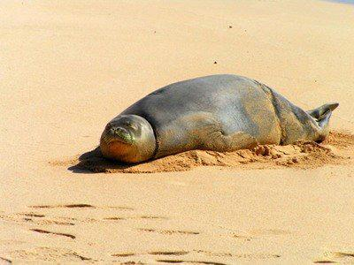 Meet Hawaii's Oldest Mammal.  The Hawaiian Monk Seal
