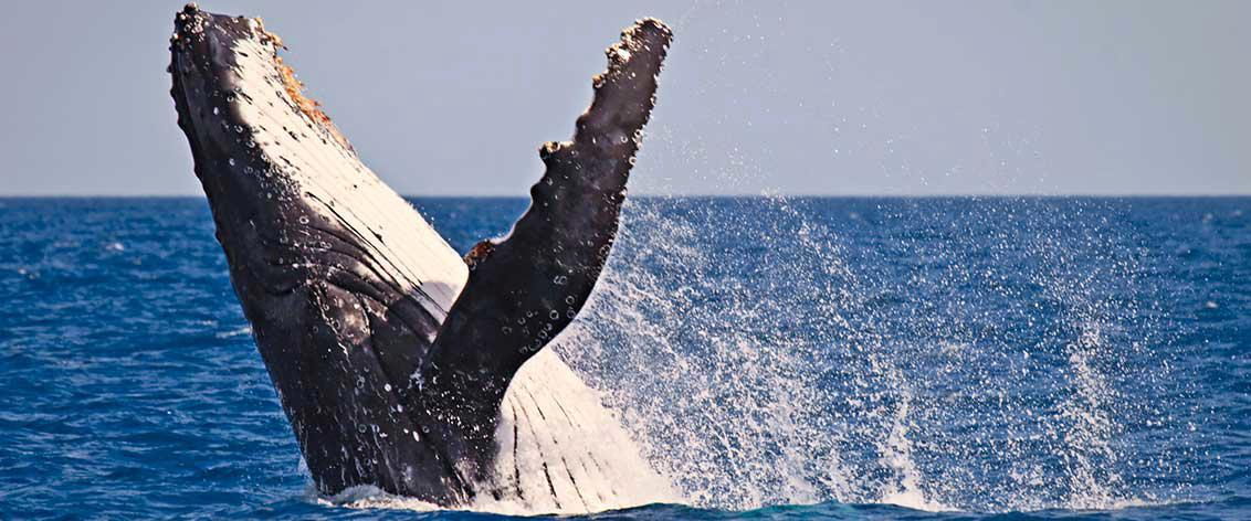 Oahu Whale Watching Tours happens December through April.