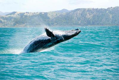 Whales often 'Spyhop' to see above the water.