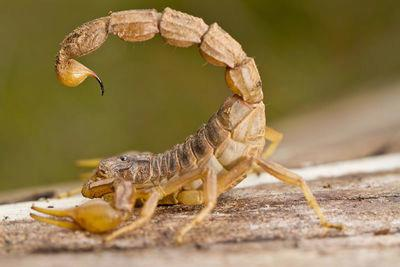 Yes, Hawaii has Scorpions!