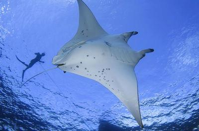 Hawaiian Manta Rays Seem Scary But Are as Gentle as They are Beautiful.