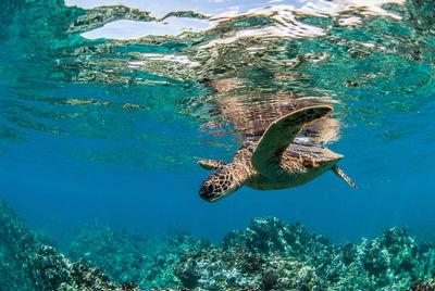 Hawaiian Turtles may be slow, but they can cover great distances!