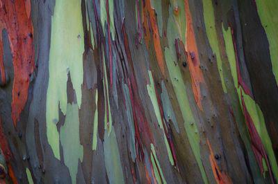 The Rainbow Eucalyptus Adds Color to the Hawaiian Rainforest