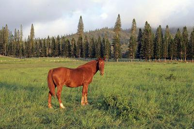 When did horses first come to Kauai?