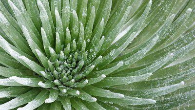 The Strange Case of Maui's Beautiful Silversword Plant