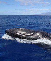 Whale Watch From Kaanapali - Trilogy Excursions