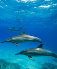 Wild Dolphin Swim/Reef Snorkel