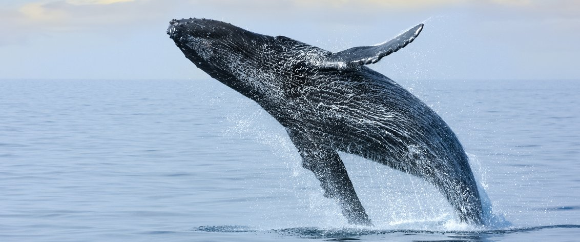 Humpback Whales are a 'BIG' draw for Hawaii visitors during the Winter months.