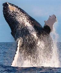 Waikiki Kewalo - Whales Guaranteed AM Watch -