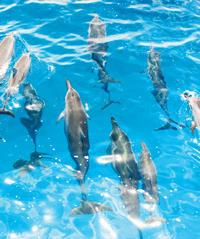 Wild Dolphin Watch - Dolphin Star - Star of Honolulu